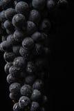 De donkere bos van druif in laag licht op zwarte achtergrond, macroschot, water daalt Royalty-vrije Stock Foto