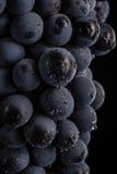 De donkere bos van druif in laag licht op zwarte achtergrond, macroschot, water daalt Royalty-vrije Stock Afbeeldingen