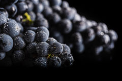 De donkere bos van druif in laag licht op zwarte isoleerde achtergrond, macroschot, waterdalingen Royalty-vrije Stock Fotografie