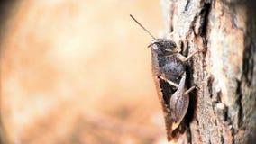 De donkere Bruine de meningszitting van het sprinkhanen volledige lichaam op een boom concentreerde goed macrofotorechterkant stock afbeeldingen