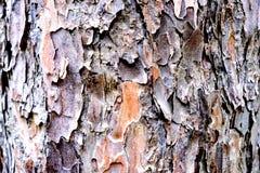 De donkere bruine textuur van de sparschors De achtergrond van de sparschors Stock Foto's