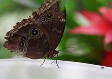 De donkere bruine vlinder met wit rondes macroschot Stock Afbeelding