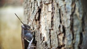 De donkere Bruine zitting van de sprinkhanen Hoofdmening op een boom concentreerde goed macro geschotene rechterkant royalty-vrije stock afbeeldingen