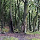 De donkere dichte boomstammen van de beuk bosboom in de vroege herfst Royalty-vrije Stock Afbeeldingen