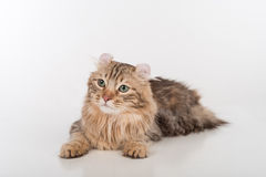 De donkere kat die van de Haar Amerikaanse Krul op de witte lijst liggen Witte achtergrond Royalty-vrije Stock Afbeeldingen