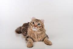 De donkere kat die van de Haar Amerikaanse Krul op de witte lijst liggen Witte achtergrond Royalty-vrije Stock Foto