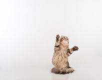 De donkere kat die van de Haar Amerikaanse Krul zich op twee benen op de witte lijst bevinden Witte achtergrond Omhoog het kijken Stock Fotografie