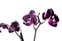 De donkere kers met witte phalaenopsis van de randorchidee is geïsoleerd Stock Afbeeldingen
