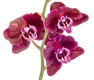 De donkere purpere bloemen van de takorchidee met groene bladeren Royalty-vrije Stock Foto's