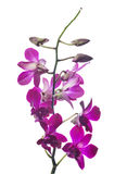 De donkere purpere die tak van de orchideebloem op wit wordt geïsoleerd Stock Afbeeldingen