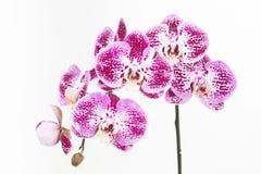 De donkere purpere en witte Mottenorchideeën sluiten omhoog Stock Fotografie