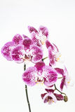 De donkere purpere en witte Mottenorchideeën sluiten omhoog Stock Foto's