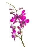 De donkere purpere tak van de orchideebloem op wit Royalty-vrije Stock Afbeelding