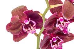 De donkere purpere takorchidee bloeit met groene die bladeren, Orchidaceae, Phalaenopsis als de Mottenorchidee wordt bekend, afge Royalty-vrije Stock Afbeelding