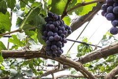 De donkere purpere wijngaarden van de kleurendruif in de zomer Stock Foto