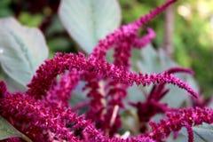 De donkere roze Amarant of Amaranthus kosmopolitische jaarlijkse die installatiebloemen in kleurrijke bracteeën worden geschikt d stock fotografie