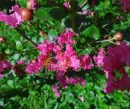 De donkere roze bloem van de rouwbandmirte Royalty-vrije Stock Afbeelding