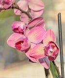 De donkere roze bloemen van de orchidee dichte omhooggaande tak, op bokehrug Royalty-vrije Stock Foto