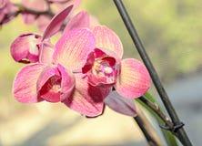 De donkere roze bloemen van de orchidee dichte omhooggaande tak, op bokehrug Royalty-vrije Stock Afbeelding