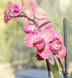 De donkere roze bloemen van de orchidee dichte omhooggaande tak, op bokehrug Stock Foto
