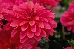 De donkere roze close-up van de dahliabloem Stock Afbeeldingen