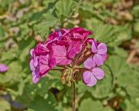 De donkere roze close-up van de geraniumbos Royalty-vrije Stock Fotografie