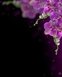 De donkere roze orchidee bloeit samenstelling op zwarte Royalty-vrije Stock Fotografie