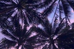 De donkere silhouetten van palmenbladeren bij de violette en roze achtergrond van de zonsonderganghemel Royalty-vrije Stock Foto