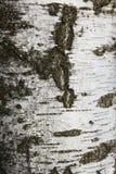 De donkere textuur van de berk Stock Afbeeldingen