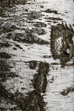 De donkere textuur van de berk Stock Fotografie