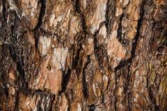 De donkere textuur van de sparschors Royalty-vrije Stock Fotografie