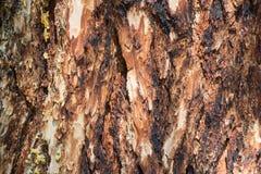 De donkere textuur van de sparrenschors Abstracte Houten Achtergrond Royalty-vrije Stock Foto