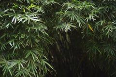 De donkere Tropische Achtergrond van het Wildernisbamboe Stock Foto's