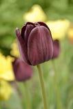 De donkere tuintulp, bloeide in de lente Stock Afbeelding