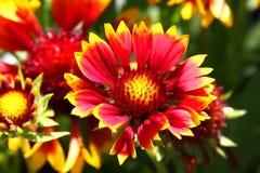 De donkere tweekleurige Bloem van bloemgaillardia Aristata Gallo Royalty-vrije Stock Afbeeldingen