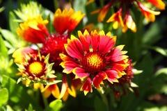 De donkere tweekleurige Bloem van bloemgaillardia Aristata Gallo Stock Afbeeldingen