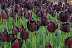 De donkere violette tulpen kwamen in park tot bloei Royalty-vrije Stock Foto