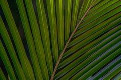 De donkergroene achtergrond van de palmbladentextuur Stock Afbeelding