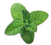 De donkergroene groene munt isoleerde bladeren Royalty-vrije Stock Foto