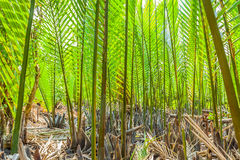 De donkergroene Palm Nypa Royalty-vrije Stock Afbeeldingen