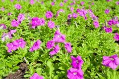 De donkerpaarse bloem van de Petunia (Petunia Hybrida) Royalty-vrije Stock Fotografie