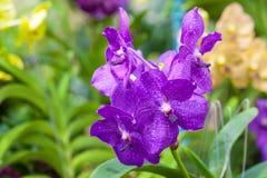 De donkerpaarse orchidee van Vanda Stock Afbeelding