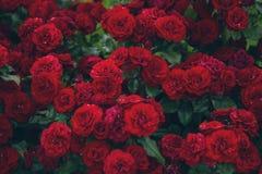 De donkerrode achtergrond van de rozenbloem Stock Foto's