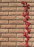 De donkerrode bladeren die van de stamwijnstok op een bakstenen muur groeien Stock Afbeelding