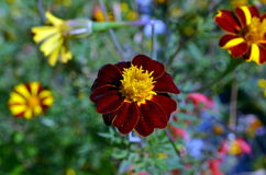 De donkerrode bloem van de Helenium autumnale bloesem Royalty-vrije Stock Foto