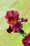De donkerrode bloem van de kleureniris Royalty-vrije Stock Foto