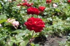 De donkerrode bloem van tuin nam toe Stock Afbeelding