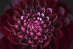 De donkerrode bloembloemblaadjes, sluiten omhoog en macro van chrysant, mooie abstracte achtergrond Royalty-vrije Stock Fotografie