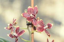 De donkerrode bloemen van de orchidee dichte omhooggaande die tak, op bokeh worden geïsoleerd Royalty-vrije Stock Afbeelding