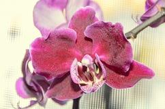 De donkerrode bloemen van de orchidee dichte omhooggaande die tak, op bokeh worden geïsoleerd Stock Afbeelding